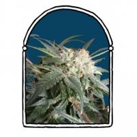 Malibu Feminised Cannabis Seeds | Kush Brothers