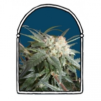 Malibu Feminised Cannabis Seeds | Kush Brothers