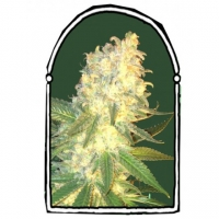 Mass Kush Feminised Cannabis Seeds | Kush Brothers