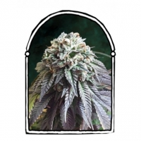 The Dark Side Feminised Cannabis Seeds | Kush Brothers