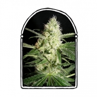 Yellow Stone Feminised Cannabis Seeds | Kush Brothers