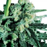 Sensi Skunk Regular Cannabis Seeds | Sensi Seeds