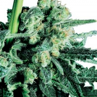 Sensi Skunk Regular Cannabis Seeds | Sensi Seeds