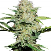 Sensi Skunk Auto-Flowering Feminised Cannabis Seeds | Sensi Seeds
