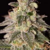 Shark Shock CBD Feminised Cannabis Seeds | Dinafem Seeds