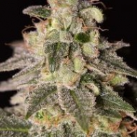 Shark Shock CBD Feminised Cannabis Seeds | Dinafem Seeds