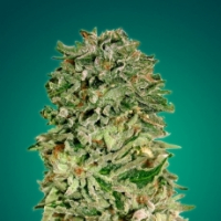 Shark Widow CBD Feminised Cannabis Seeds | Advanced Seeds