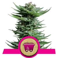 Shining Silver Haze Feminised Cannabis Seeds | Royal Queen Seeds