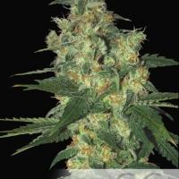 Shot Adrenaline Auto Feminised Cannabis Seeds
