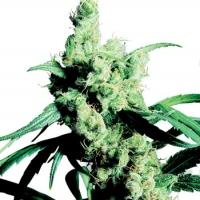 Silver Haze #9 Feminised Cannabis Seeds | Sensi Seeds