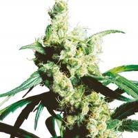 Silver Haze Regular Cannabis Seeds | Sensi Seeds