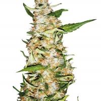 Skunk #1 Feminised Automatic Cannabis Seeds | Sensi Seeds