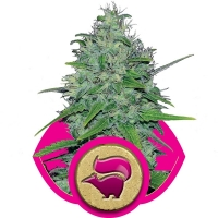 Skunk XL Feminised Cannabis Seeds | Royal Queen Seeds