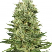 Skunk # 1 Automatic Feminised Cannabis Seeds | White Label Seed Company