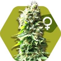 Skunk Feminised Cannabis Seeds | Zambeza Seeds