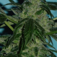 Skunkberry Regular Cannabis Seeds