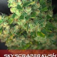 Buy Alphakronik Genes Skyscraper Kush Regular Cannabis Seeds