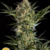 Sleepy Yoda Auto Feminised Cannabis Seeds | Philosopher Seeds