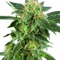 Snow Ryder Automatic Feminised Cannabis Seeds | White Label Seed Company