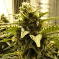 Snow White Regular Cannabis Seeds | Nirvana