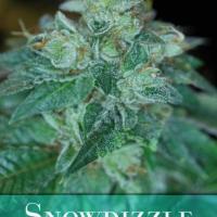 Buy Snowdizzle Regular Cannabis Seeds