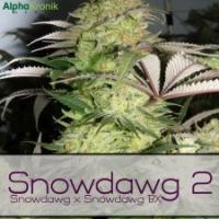 Buy Alphakronik Genes Snowdawg 2 Regular Cannabis Seeds