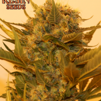 Sour P Feminised Cannabis Seeds