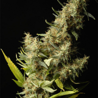 Southern Lights Regular Cannabis Seeds | Delta 9 Labs