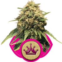 Special Queen #1 Feminised Cannabis Seeds | Royal Queen Seeds