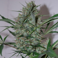 Speed Haze Feminised Cannabis Seeds | Black Skull Seeds