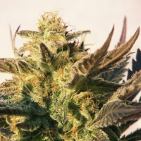Speedy Boom Auto Feminised Cannabis Seeds