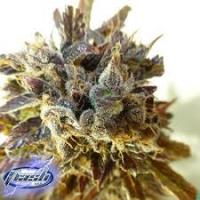 Stardust Feminised Cannabis Seeds