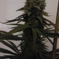 Sugar Mama Auto Feminised Cannabis Seeds | Feminized Seeds