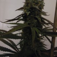 Sugar Mama Auto Feminised Cannabis Seeds | Feminized Seeds