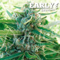 Sugar Black Rose Early Version Feminised Cannabis Seeds | Delicious Seeds