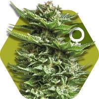 Super Silver Haze Feminised Cannabis Seeds | Zambeza Seeds