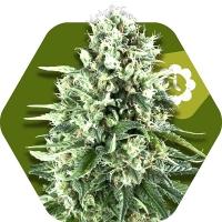 Super Silver Haze Auto Feminised Cannabis Seeds | Zambeza Seeds