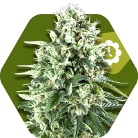 Super Silver Haze Auto Feminised Cannabis Seeds | Zambeza Seeds