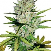 Super Skunk Automatic Feminised Cannabis Seeds | White Label Seed Company