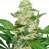 Super Skunk Auto Feminised Cannabis Seeds | Sensi Seeds