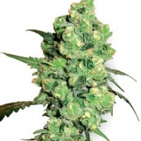 Super Skunk Feminised Cannabis Seeds | White Label Seed Company