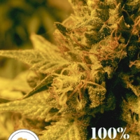 Swazi Gold Regular Cannabis Seeds | Seeds of Africa
