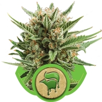 Sweet Skunk Auto Feminised Cannabis Seeds | Royal Queen Seeds