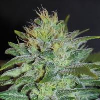 Sweet Black Angel Feminised Cannabis Seeds