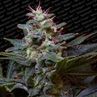 Sweet Purple Feminised Cannabis Seeds | Paradise Seeds