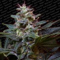 Sweet Purple Feminised Cannabis Seeds   Paradise Seeds