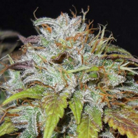 Swiss Cheese Regular Cannabis Seeds | Nirvana Seeds