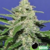 Bomb Seeds THC Bomb Auto Feminised Cannabis Seeds For Sale