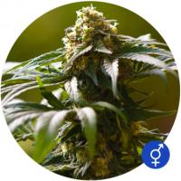 The Bulldog Skunk Regular Cannabis Seeds | Bulldog Seeds
