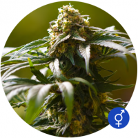 The Bulldog Skunk Regular Cannabis Seeds | Bulldog Seeds